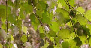 Lato w Deciduous lesie słońce połysk przez liści brzoza zbiory