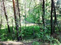Lato w sosnowym lesie Zdjęcia Royalty Free