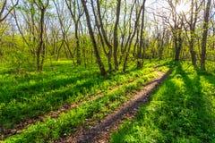 Lato zielona lasowa scena Zdjęcie Royalty Free