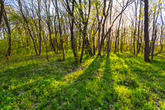 Lato zielona lasowa scena Obrazy Stock