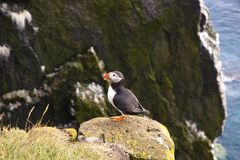 Latrabjarg - Iceland. Puffin on the rock Royalty Free Stock Photography