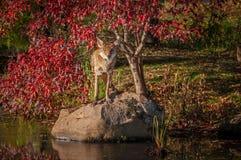 Latrans волка койота смотрят прямыми вне от утеса Стоковые Изображения