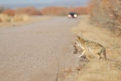 Latrans волка Стоковое Фото