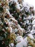 Latta dell'arbusto dell'alloro sotto la neve della molla Fotografia Stock Libera da Diritti