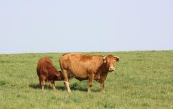 lattante del Limousin del vitello Fotografia Stock