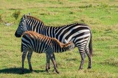 Lattante del puledro della zebra dalla mamma immagine stock