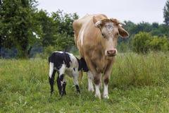 Lattante del vitello e della mucca in un prato Fotografia Stock Libera da Diritti