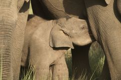 Lattante dell'elefante del bambino Immagini Stock Libere da Diritti