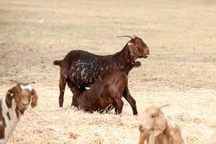 Lattante della capra del bambino sulla capra della madre Fotografia Stock Libera da Diritti
