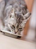 Latte alimentare del gatto Immagini Stock