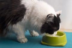 Latte alimentare del gatto in bianco e nero lanuginoso dalla ciotola verde Th Immagine Stock Libera da Diritti
