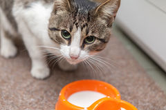 latte alimentare del gatto dai grandi occhi di una ciotola a casa Immagine Stock