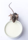 Latte alimentare del topo del bambino Fotografia Stock Libera da Diritti