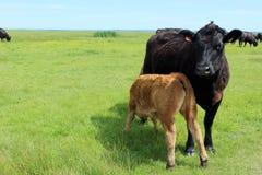 Latte alimentare del vitello dalla mucca della madre nel campo verde fertile fotografie stock