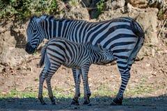Latte alimentare della zebra di Grevy del bambino dalla madre Fotografie Stock Libere da Diritti