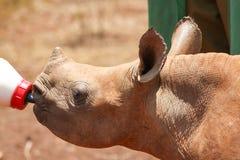Latte alimentare di piccolo rinoceronte dalla bottiglia Immagini Stock Libere da Diritti
