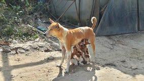 Latte d'alimentazione del cane della madre ai suoi cuccioli immagini stock libere da diritti