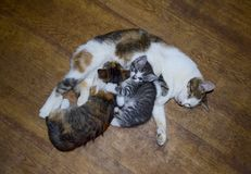 Latte d'alimentazione del gattino del gatto di calicò Allattamento al seno Il gatto dei gattini succhia Fotografia Stock