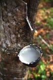 Latte da un albero di gomma Fotografia Stock Libera da Diritti