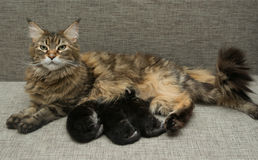 Latte del gatto che alimenta i suoi gattini Fotografia Stock Libera da Diritti