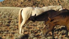 Latte del lattante del cavallo stock footage