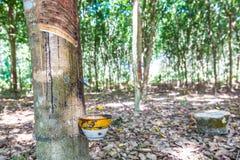 Latte dell'albero di gomma in una ciotola Fotografia Stock