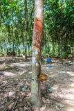 Latte dell'albero di gomma in una ciotola Fotografia Stock Libera da Diritti
