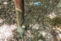 Latte dell'albero di gomma in una ciotola Immagini Stock