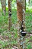 Latte dell'albero di gomma in una ciotola di legno Immagine Stock