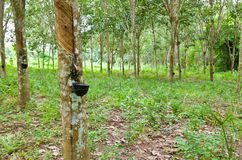 Latte dell'albero di gomma in una ciotola di legno Fotografia Stock