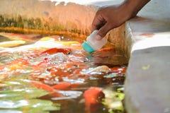 Latte dell'alimentazione per il pesce operato della carpa Immagine Stock