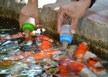 Latte dell'alimentazione per il pesce operato della carpa Immagine Stock Libera da Diritti