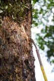 Latte della tenuta della mano dell'agricoltore dell'albero di gomma Immagini Stock