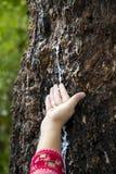 Latte della tenuta della mano dell'agricoltore dell'albero di gomma Fotografia Stock Libera da Diritti
