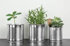 Latte di alluminio utilizzate come contenitori per le piante crescenti Immagine Stock Libera da Diritti