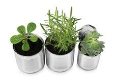 Latte di alluminio utilizzate come contenitori per le piante crescenti Fotografia Stock Libera da Diritti