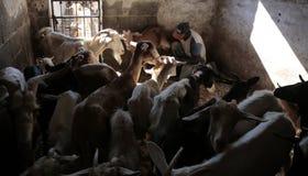 Latte di capra del disegno dell'agricoltore Immagini Stock