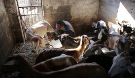 Latte di capra del disegno dell'agricoltore agli animali stabili Immagine Stock Libera da Diritti