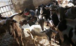 Latte di capra del disegno dell'agricoltore circondato dagli animali alla stalla Immagine Stock Libera da Diritti