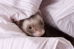 Latte the Ferret. Light brown sable female ferret with dark eyes and spotted pink nose. Comfortably lying inside luxurious pink pinstripe sheets Royalty Free Stock Photo