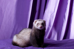Latte the Ferret. Light brown sable female ferret with dark eyes and spotted pink nose. Naturally posing on a purple pillow in front of a purple muslin backdrop Royalty Free Stock Photo