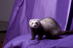 Latte the Ferret. Light brown sable female ferret with dark eyes and spotted pink nose. Naturally posing on a purple pillow in front of a purple muslin backdrop Stock Photos