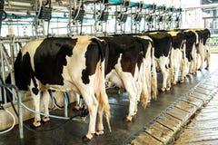 Latte fresco dei prodotti della macchina della mucca di mungitura della latteria Fotografia Stock