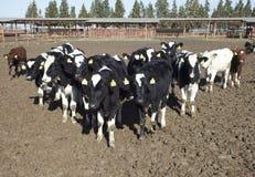 Latte vaccino di agricoltura dell'azienda agricola della mucca Immagine Stock