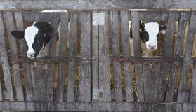 Latte vaccino di agricoltura dell'azienda agricola della mucca Fotografia Stock Libera da Diritti