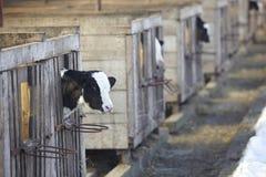 Latte vaccino di agricoltura dell'azienda agricola della mucca Immagini Stock