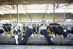 Latte vaccino di agricoltura dell'azienda agricola della mucca Immagini Stock Libere da Diritti