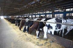 Latte vaccino di agricoltura dell'azienda agricola della mucca Fotografia Stock