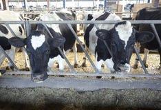 Latte vaccino di agricoltura dell'azienda agricola della mucca Fotografie Stock Libere da Diritti
