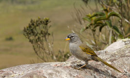Latten-throated Pampa-Fink (Embernagra longicauda). stockfotografie